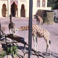 zoo di roma le giraffe