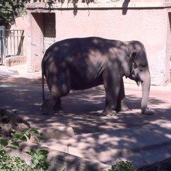 zoo di roma l'elefante