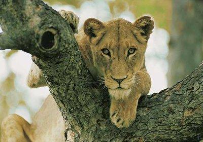 lion_4