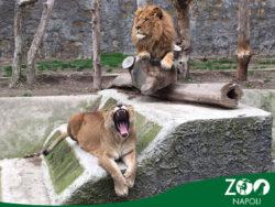 03-napoli-zoo-animali-leone